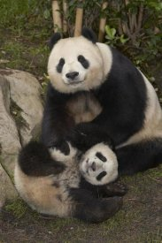 San Diego Zoo - Giant Panda mother and baby, native to China