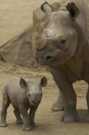 San Diego Zoo - Black Rhinoceros mother and calf, native to Africa