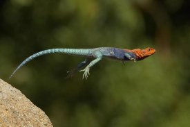 San Diego Zoo - Red-headed Rock Agama male lizard jumping, native to Africa