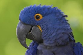 San Diego Zoo - Hyacinth Macaw portrait, native to South America