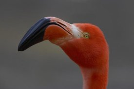 San Diego Zoo - Greater Flamingo portrait