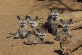 San Diego Zoo - Bat-eared Fox group of five pups, native to Africa