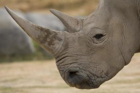San Diego Zoo - White Rhinoceros portrait showing horns, native to Africa