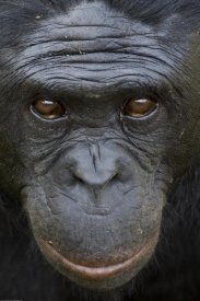 San Diego Zoo - Bonobo portrait, native to Africa