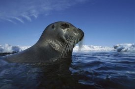 Flip Nicklin - Bearded Seal surfacing, Svalbard, Norway
