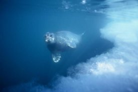 Flip Nicklin - Bearded Seal underwater, Norway
