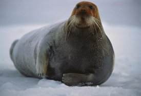 Flip Nicklin - Bearded Seal dyed red from foraging in iron-rich mud, Svalbard, arctic Norway