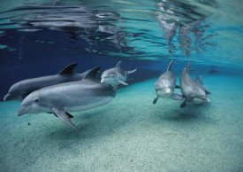 Flip Nicklin - Bottlenose Dolphin group swimming in shallow water, Hawaii