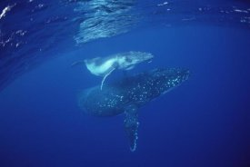 Flip Nicklin - Humpback Whale mother and calf underwater, Tonga