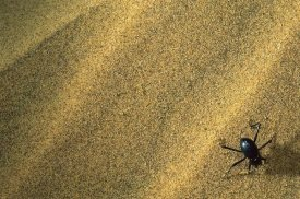Mark Moffett - Darkling Beetle collecting dew on its back, Namibia