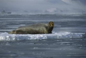 Flip Nicklin - Bearded Seal resting on ice floe, Svalbard, Norway