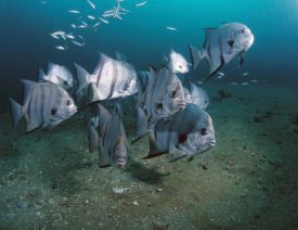 Flip Nicklin - Atlantic Spadefish school, Gray's Reef NMS, Georgia