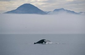 Flip Nicklin - Humpback Whale tail, Southeast Alaska