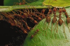 Mark Moffett - Weaver Ants building nest by pulling on leaves and forming chains, Africa