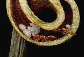 Mark Moffett - Carpenter Ants and pupae nest safely in tendril of carnivorous Pitcher Plant, Borneo