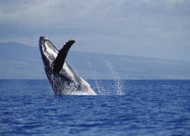 Flip Nicklin - Humpback Whale breaching, Maui, Hawaii