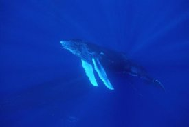 Flip Nicklin - Humpback Whale curious calf followed by protective mother, Maui, Hawaii