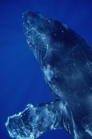 Flip Nicklin - Humpback Whale close up of friendly singer, Maui, Hawaii