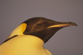 Tui De Roy - Emperor Penguin portrait, Atka Bay, Weddell Sea, Antarctica
