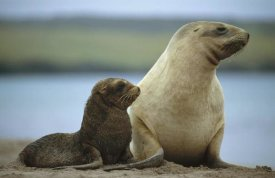 Tui De Roy - Hooker's Sea Lion mother and pup, Auckland Island, New Zealand