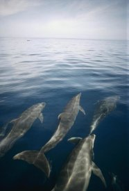 Tui De Roy - Bottlenose Dolphin pod surfacing, Isabella Island, Galapagos Islands, Ecuador