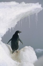 Mark Jones - Adelie Penguin adult, Ross Sea, Antarctica