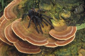 Mark Jones - Tarantula large female wandering over bracket fungus, North Sulawesi, Indonesia