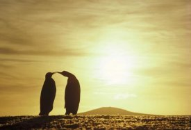 Tui De Roy - King Penguins and austral summer sunset, Volunteer Point, Falkland Islands