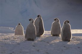 Tui De Roy - Emperor Penguin chicks in midnight sun, Princess Martha Coast,  Antarctica