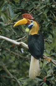 Mark Jones - Sulawesi Red-knobbed Hornbill male in fruiting Fig tree , Sulawesi, Indonesia