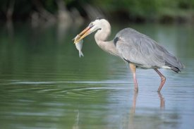 Tui De Roy - Great Blue Heron fishing in Mangrove lagoon, Galapagos Islands, Ecuador