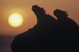 Tui De Roy - Marine Iguana pair silhouetted on lava shore, Galapagos Islands, Ecuador