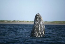 Tui De Roy - Gray Whale adult spy, Magdalena Bay, Baja California, Mexico
