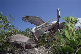 Tui De Roy - Brown Pelican pair greeting display, Turtle Bay, Galapagos Islands, Ecuador
