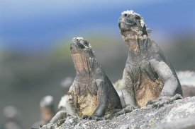 Tui De Roy - Marine Iguanas sky pointing to keep cool, Punta Espinosa, Galapagos Islands