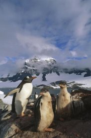Tui De Roy - Gentoo Penguin with chicks, Port Lockroy, Wiencke Island,  Antarctica