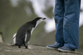 Tui De Roy - Chinstrap Penguin inspecting tourist, Deception Island, Antarctica