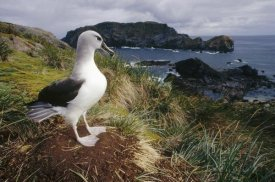Tui De Roy - Grey-headed Albatross at nest, Diego Ramirez Island, Chile