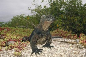Tui De Roy - Marine Iguana male, Academy Bay, Galapagos Islands, Ecuador