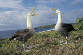 Tui De Roy - Waved Albatross courtship display, Galapagos Islands, Ecuador