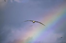 Tui De Roy - Waved Albatross soaring through rainbow, Galapagos Islands, Ecuador