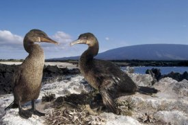 Tui De Roy - Flightless Cormorants at nest lined with Sea Urchins, Galapagos Island