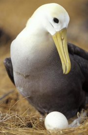 Tui De Roy - Waved Albatross incubating single egg, Galapagos Islands, Ecuador