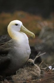 Tui De Roy - Waved Albatross guarding young chick, Galapagos Islands, Ecuador