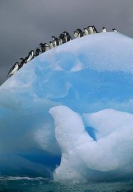 Tui De Roy - Adelie Penguin group resting on blue, Antarctica