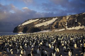 Tui De Roy - Adelie Penguin dense colony, late summer, Cape Adare,  Antarctica