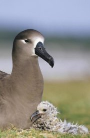 Tui De Roy - Black-footed Albatross guarding young chick, Midway Atoll, Hawaii