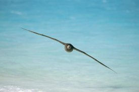 Tui De Roy - Black-footed Albatross flying, Midway Atoll, Hawaii