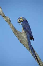 Tui De Roy - Hyacinth Macaw in tree, Pantanal, Brazil