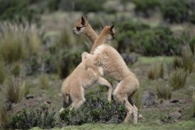 Tui De Roy - Vicuna young play-fighting like adult males, Peruvian Andes, Peru